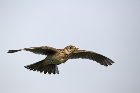 arvensis: Skylark, Alauda arvensis, single bird in flight, Midlands, April 2011
