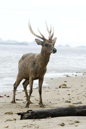 Timor or Rusa deer, Cervus timorensis, single animal on beach, Komodo Island, Indonesia, March 2011