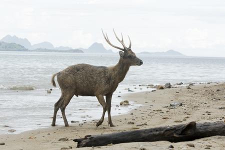 komodo island: Timor or Rusa deer, Cervus timorensis, single animal on beach, Komodo Island, Indonesia, March 2011