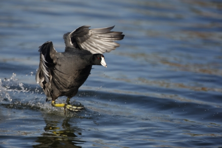 American coot, Fulica americana, flight, Arizona, USA, winter               photo
