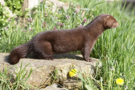 American mink, Mustela vison, sussex, spring                  Stock Photo