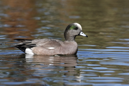 anas: American wigeon, Anas americana, male, Arizona, USA, winter