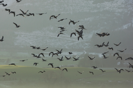 Barnacle goose, Branta leucopsis, A large flock in flight, Caerlaverock, Scotland               photo