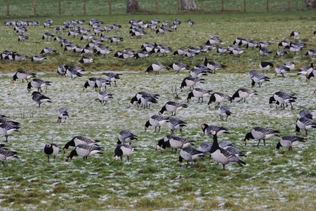 dumfries and galloway: Barnacle goose, Branta leucopsis, Large flock on frozen grass field, Caerlaverock on the Solway, Dumfries and Galloway, Scotland, winter 2009 Stock Photo