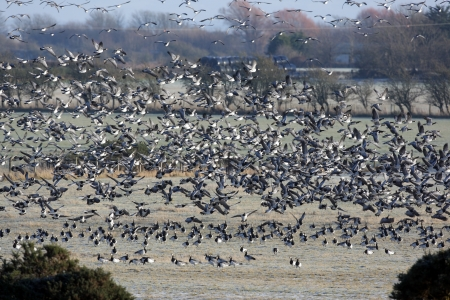 Barnacle goose, Branta leucopsis, Large flock in flight at Caerlaverock on the Solway, Dumfries and Galloway, Scotland, winter 2009 photo