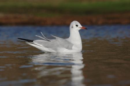 ridibundus: Black-headed gull, Larus ridibundus, Norfolk, Nov 2009               Stock Photo