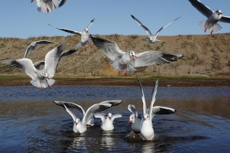 larus ridibundus: Black-headed gull, Larus ridibundus, group, Norfolk, Nov 2009               Stock Photo