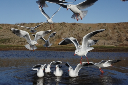 larus ridibundus: Black-headed gull, Larus ridibundus, group of birds on water and in flight, Norfolk, Nov 2009