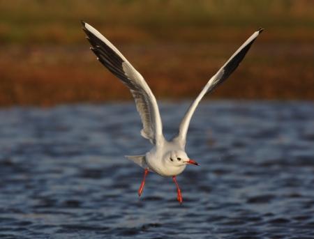 larus ridibundus: Black-headed gull, Larus ridibundus, in flight, Norfolk, Nov 2009