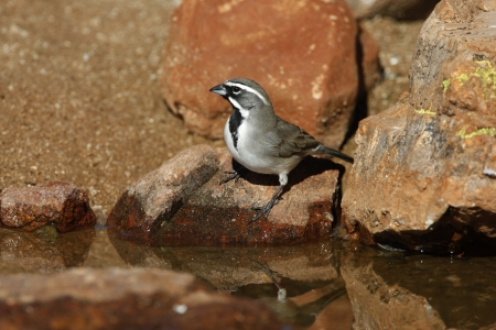 bilineata: Black-throated sparrow, Amphispiza bilineata, Arizona, USA, winter Stock Photo