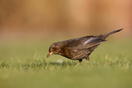 Blackbird, Turdus merula, female on grass, Scotland, spring                  photo