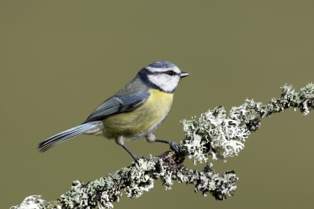 Blue tit, Parus caeruleus, Scotland, spring                photo