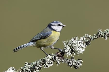caeruleus: Tit azul, Parus caeruleus, Escocia, primavera