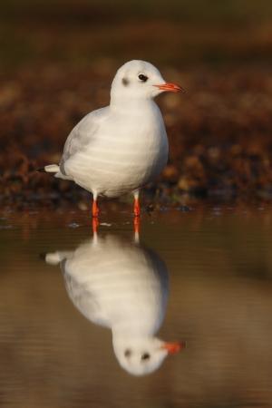 larus ridibundus: Black-headed gull, Larus ridibundus, single bird in water with reflection, Norfolk, UK, November 2009