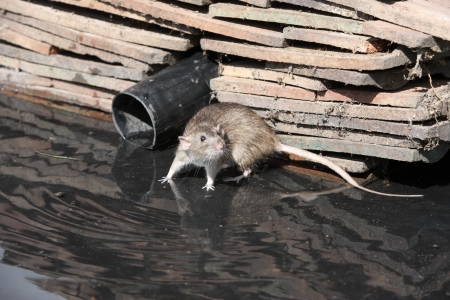 ratty: Brown rat, Rattus norvegicus, by water, Midlands, captive, August 2009
