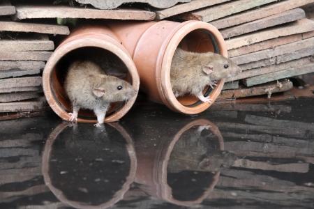 ratty: Ratto marrone, Rattus norvegicus, da acqua, Midlands, prigioniero, agosto 2009 Archivio Fotografico