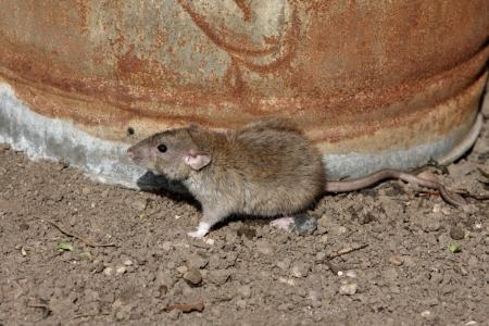 ratty: Brown ratto, Rattus norvegicus, con pattumiera, Midlands, prigioniero, agosto 2009