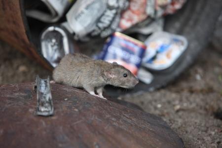 ratty: Ratto marrone, Rattus norvegicus, con pattumiera, Midlands, prigioniero, agosto 2009 Archivio Fotografico