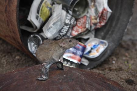 Brown rat, Rattus norvegicus, with dustbin, Midlands, captive, August 2009 Stock Photo - 22704259