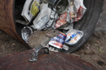 Brown rat, Rattus norvegicus, with dustbin, Midlands, captive, August 2009