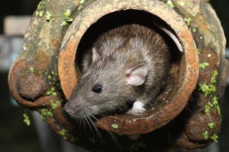 rata: Brown rata, Rattus norvegicus, cautivo, en el tubo de drenaje, agosto de 2009 Foto de archivo