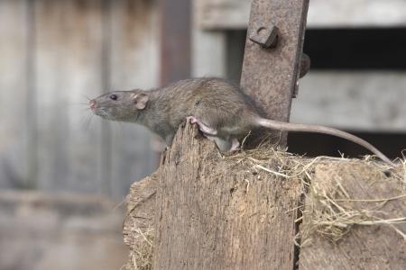 갈색 쥐, Rattus norvegicus의 2009 년 포로 8 월