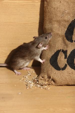 갈색 쥐, Rattus의 norvegicus, 포로, 옥수수 자루, 2009 년 8 월에 의하여