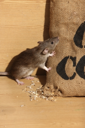 Brown rat, Rattus norvegicus, captive, by corn sack,  August 2009 Stock Photo