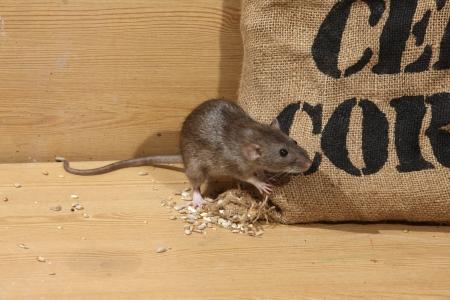 Brown rat, Rattus norvegicus, captive, by corn sack,  August 2009 Stock Photo