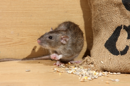 Brown rat, Rattus norvegicus, captive, by corn sack,  August 2009 Imagens