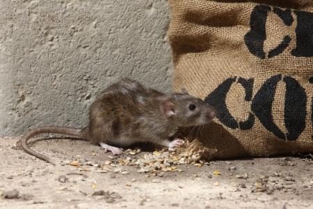 Ratto marrone, Rattus norvegicus, prigioniero, da sacchi di mais, agosto 2009 Archivio Fotografico - 22704304