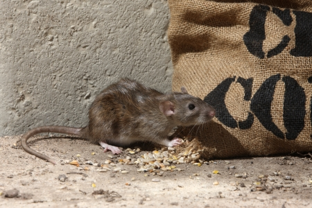 Brown rat, Rattus norvegicus, captive, by corn sack,  August 2009 Archivio Fotografico