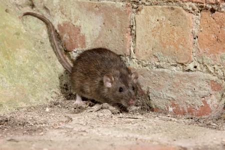 rata: Brown rata, Rattus norvegicus, cautivo, agosto de 2009 Foto de archivo