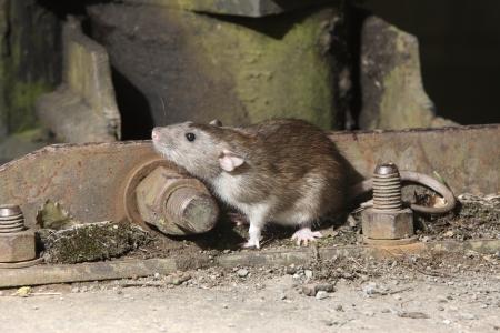 갈색 쥐, Rattus의 norvegicus, 2009 년 포로 8 월 스톡 콘텐츠