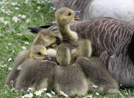 branta: Canada goose, Branta canadensis, young, London, spring
