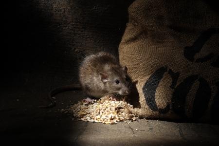 갈색 쥐, Rattus norvegicus, 포로, 곡물 자루, 2009 년 8 월