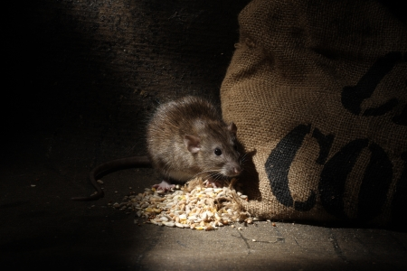 Brown rat, Rattus norvegicus, captive, with grain sack,  August 2009 Stockfoto