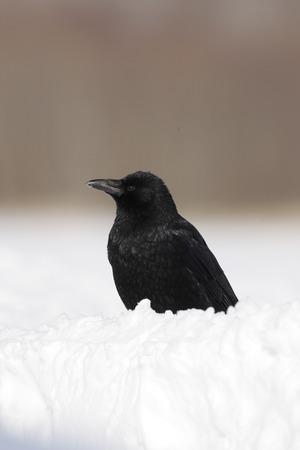 carrion: Carrion crow, Corvus corone, Japan, winter