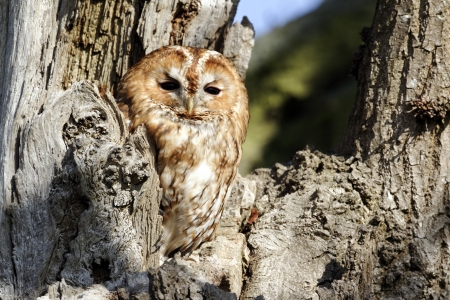 tawny owl: Tawny owl, Strix aluco, Single bird outside of hole in tree, Stock Photo