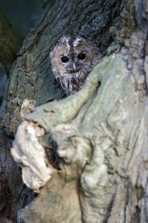 tawny owl: Tawny owl, Strix aluco, single bird at roost, Stock Photo