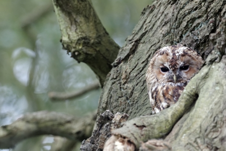 roost: Tawny owl, Strix aluco, single bird at roost, Stock Photo