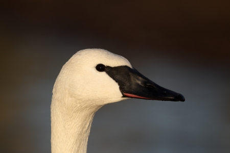 Trumpeter swan, Cygnus buccinator, single captive bird head shot, Gloucestershire, January 2012  photo