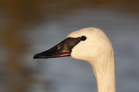 trumpeter swan: Trumpeter swan, Cygnus buccinator, single captive bird head shot, Gloucestershire, January 2012  Stock Photo