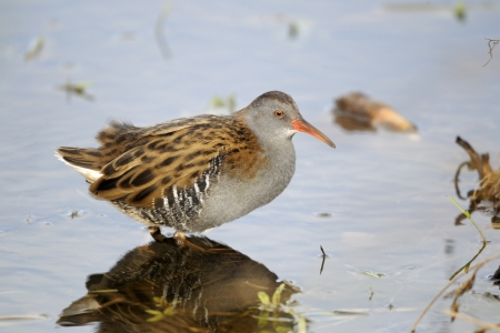 Water rail, Rallus aquaticus, single bird in water, Warwickshire, October 2012               photo