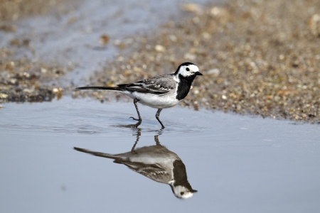 White wagtail, Motacilla alba, single bird in water, Bulgaria, June 2012 Stock Photo - 22704625