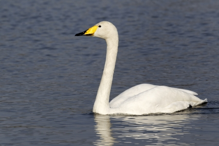 Whooper swan, Cygnus cygnus, Single bird on water, London parks, March 2012 photo