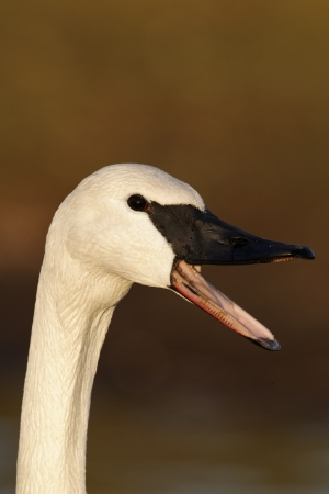 cygnus buccinator: Trumpeter swan, Cygnus buccinator, single captive bird head shot, Gloucestershire, January 2012  Stock Photo