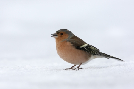 Chaffinch, Fringilla coelebs, Single male standing on snow, Dumfries, Scotland, winter 2009              photo