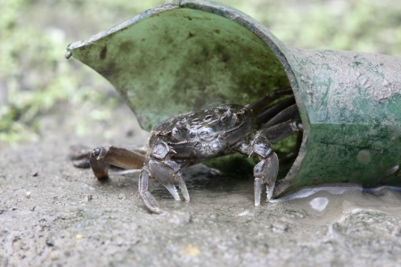 invading: Chinese mitten crab, Eriocheir sinensis, River Thames, London, invading species.