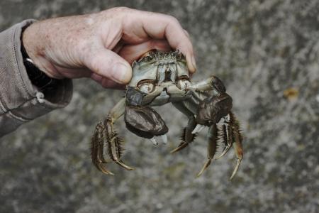 Chinese mitten crab, Eriocheir sinensis, Thames, London, October 2009 Stock Photo - 22684891